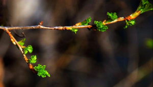Branch budding in Spring (610x351)