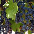 The Parables of Jesus: Lesson 14: Two Parables in a Vineyard Setting